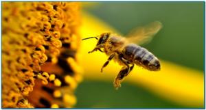 Le miel est un pur produit de la nature. Produit par les abeilles à partir du nectar des fleurs, le miel peut être crémeux ou liquide, brun ou doré, doux ou intense. Il est gorgé des actifs puissants issus des fleurs et des plantes et minutieusement élaboré avec le savoir-faire et les enzymes des abeilles. Ce plaisir gourmand regorge de propriétés médicinales, de bienfaits pour le corps et de vertus pour la peau. LA COMPOSITION EXTRAORDINAIRE DU MIEL Chaque miel a sa propre composition complexe. Quelques soient son origine ou les fleurs à partir desquelles il a été élaboré, le miel est gorgé d'ingrédients actifs aussi bienfaisants pour le corps que pour la peau. Un miel pur contient généralement : • Des sucres, du glucose et du fructose principalement, qui sont capables d'attirer et de retenir l'eau. Les autres sucres du miel ont un effet prébiotique en encourageant la microflore intestinale bénéfique. • Des peptides qui confèrent au miel des propriétés antibactériennes et des enzymes qui favorisent la cicatrisation • Des flavonoïdes qui sont de puissants antioxydants qui permettent de lutter contre le stress oxydatif et donc de protéger les cellules de l'organisme des agressions extérieures et du vieillissement • Des vitamines qui stimulent la production d'éléments essentiels, comme le collagène et des vitamines aux propriétés anti-inflammatoires pour calmer et apaiser LES USAGES DU MIEL SUR LA PEAU HYDRATER ET NOURRIR Avant toute chose, le miel est un humectant qui hydrate et nourrit la peau sèche et très sèche. Grâce à l'application du miel, l'épiderme est regorgé en eau, la barrière cutanée est renforcée et la peau résiste mieux à la déshydratation. CICATRISER Le miel, riche de ses nombreuses vitamines, répare et régénère les peaux abîmées. De larges travaux menés au CHU de Limoges, notamment par le Professeur Descottes, ont mis en évidence que le miel était un excellent agent cicatrisant pour les plaies et les escarres. ASSAINIR Le miel est aussi un antiseptiqu