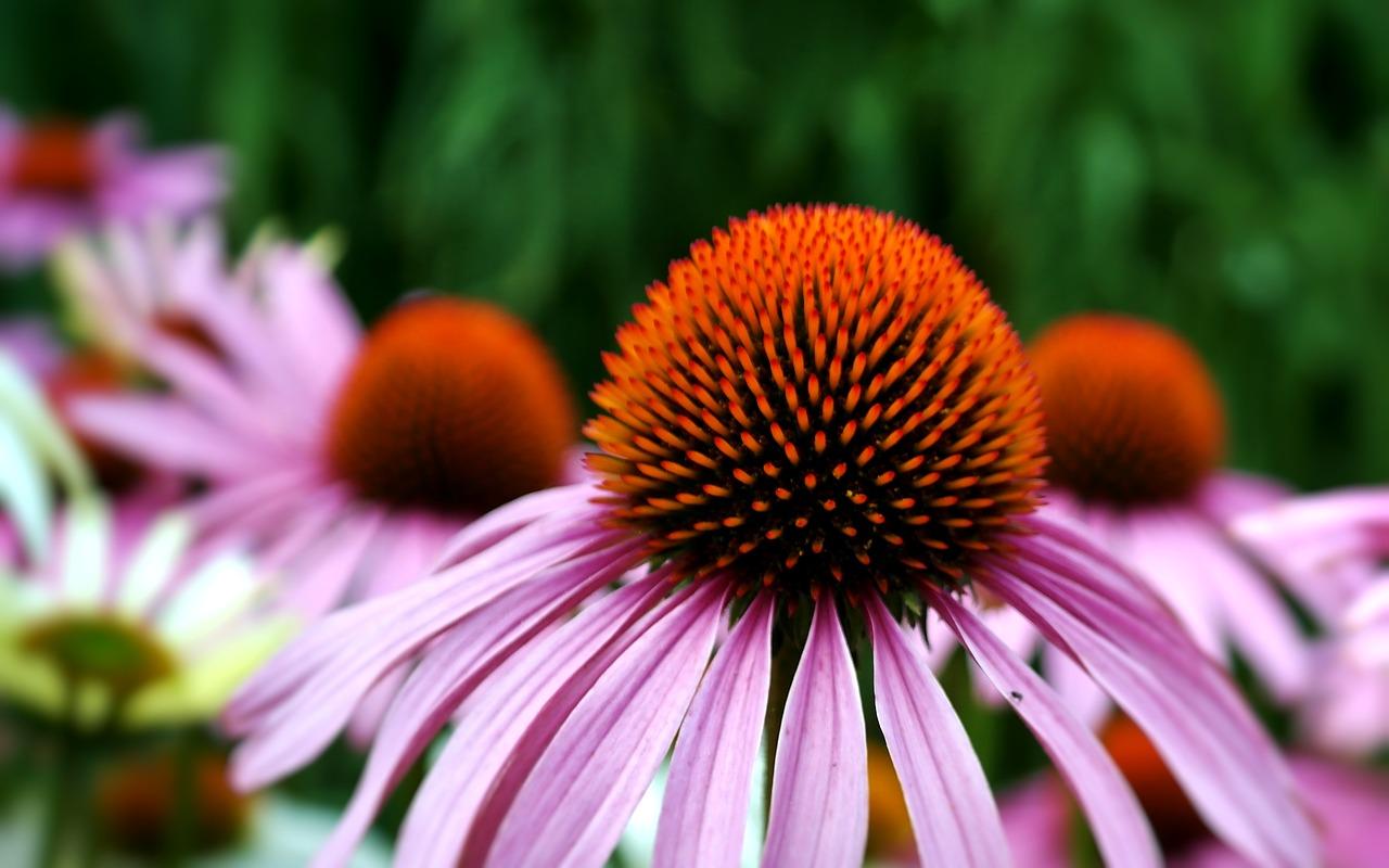 """Des plantes à recommander aux personnes fragiles En automne et en hiver, les plantes sont utiles pour préparer son """"terrain"""" immunitaire, surtout chez les personnes fragiles telles que les enfants, les personnes âgées, les femmes enceintes, mais aussi les personnes diabétiques, souffrant de problèmes respiratoires ou cardiaques. Pour plus d'efficacité, il peut être judicieux d'associer aux plantes d'autres actifs réputés soutenir le système immunitaire : probiotiques, produits de la ruche (propolis entête) et/ou vitamines anti-oxydantes."""